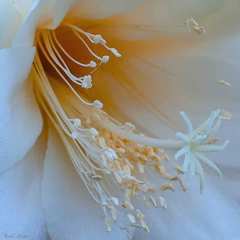 Nombre:  _DSC0240 Epiphyllum crenatum-1-800.jpg Visitas: 44 Tamaño: 543.3 KB